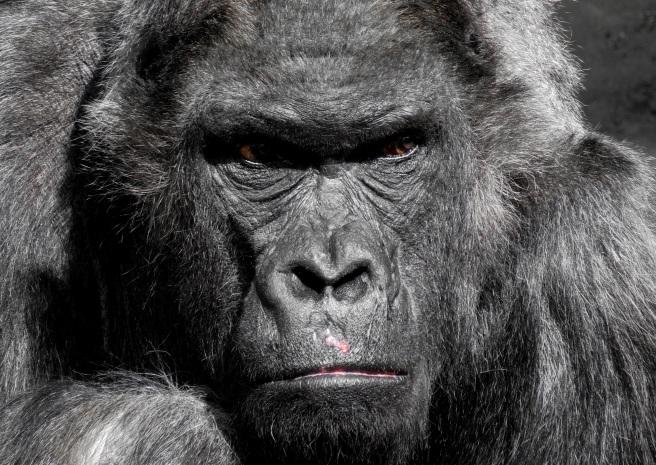 gorilla-monkey-ape-zoo